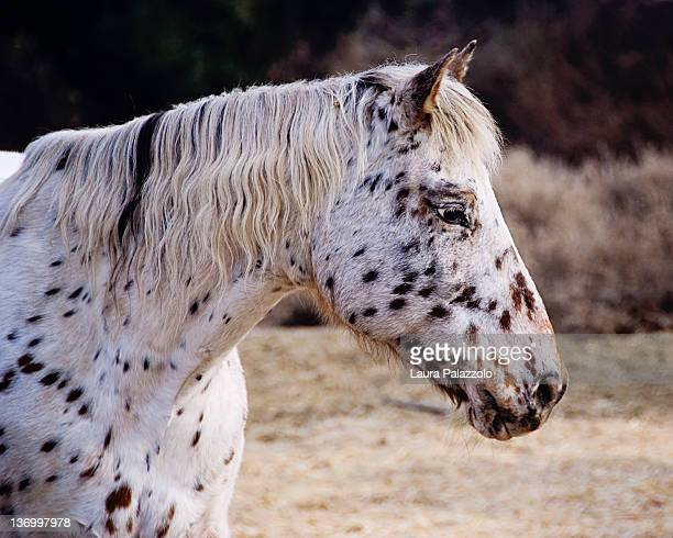 leopard appaloosa mare - appaloosa stock pictures, royalty-free photos & images