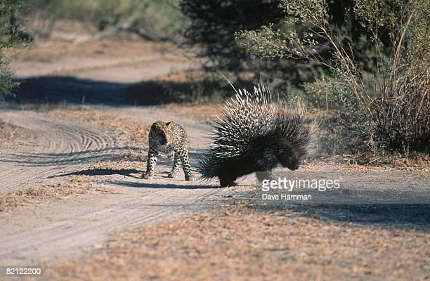 leopard (panthera pardus) approaching african porcupine (hystrix cristata) cautiously. okavango delta, botswana. - istrice foto e immagini stock