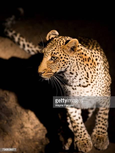 Leopard at night, Panthera pardus, Madikwe Game Reserve, South Africa.