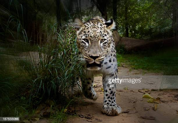 leopard  attack - animals attacking stock pictures, royalty-free photos & images