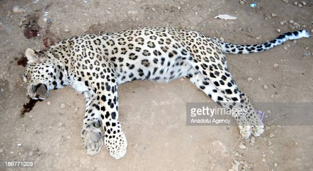 Leopard attacked and injured on Turkish shepherd Kasim Kaplan in Turkey's Diyarbakir district on November 3 2013 While the shepherd was on the...