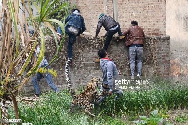 Leopard attacks an Indian man as others climb a wall to get away from the animal in Lamba Pind area in Jalandhar on January 31, 2019. - After a...