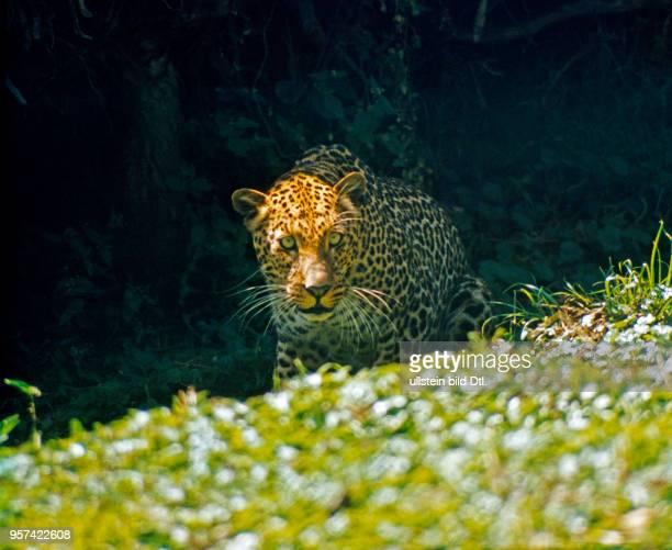 Leopard auf Jagd unterwegs im Bergregenwald des Aruscha Nationalparks am Mount Meru in Tansania.