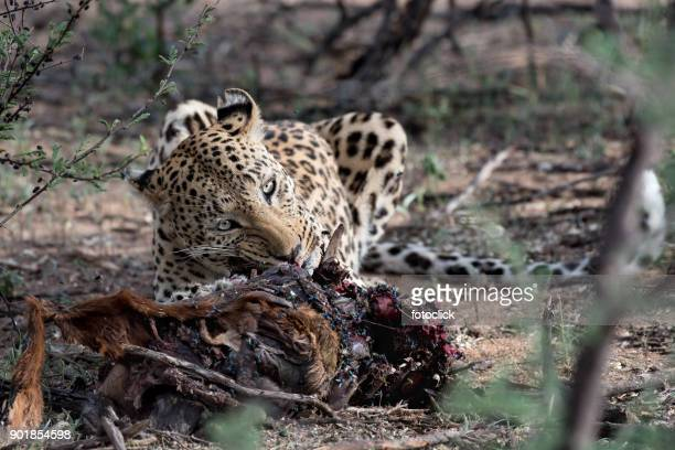 Leopard Beim Essen