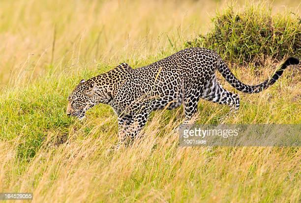 camouflage léopard, de buissons à