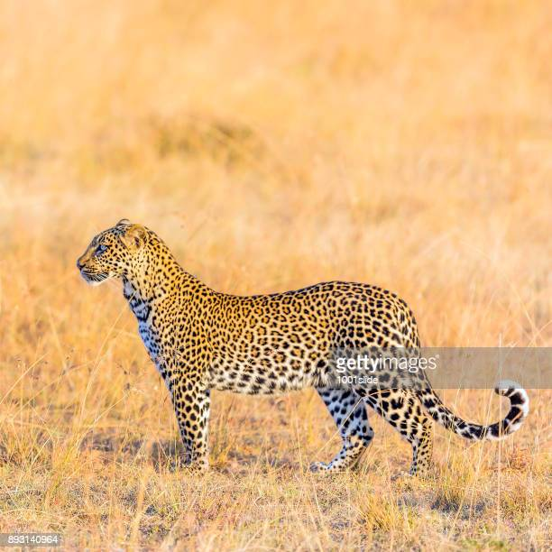 Leopard - camouflage, watching
