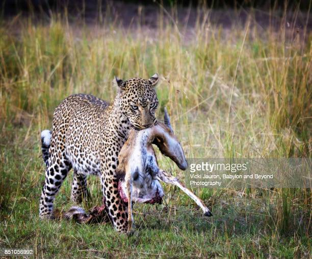 Leopard Carrying Kill in Masai Mara, Kenya