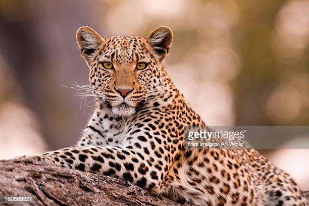 leopard, chobe national park, botswana - leopard photos et images de collection