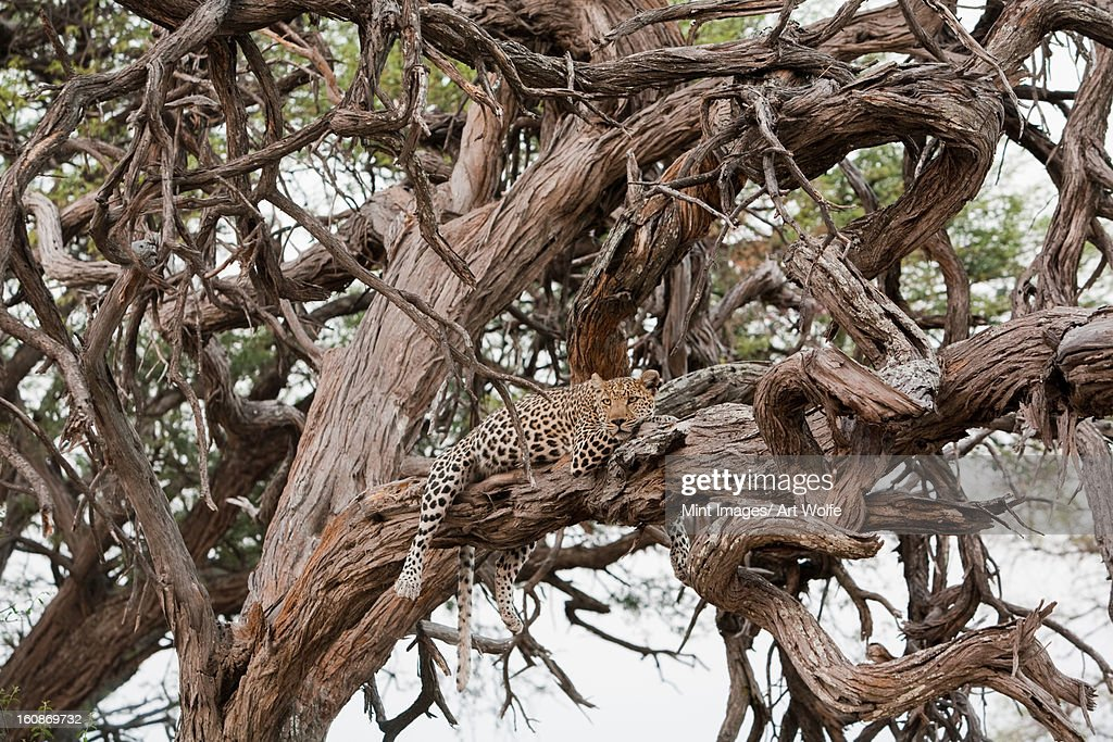 Leopard, Chobe National Park, Botswana : Stock Photo