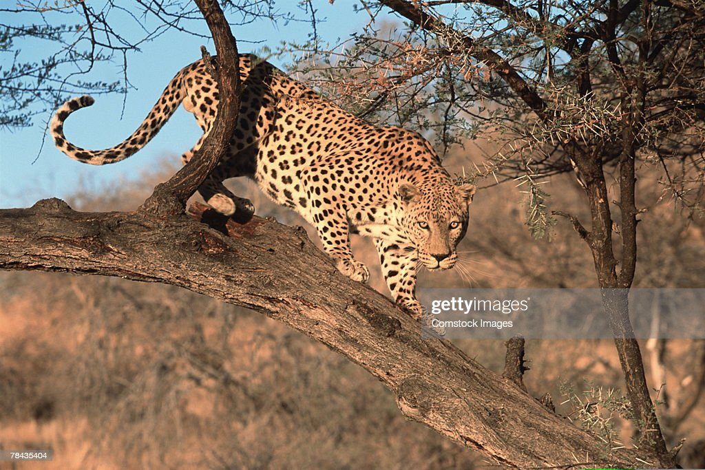 Leopard climbing tree branches , Namibia , Africa : Stockfoto