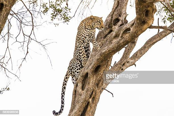leopard - climbing tree - east africa stock photos and pictures