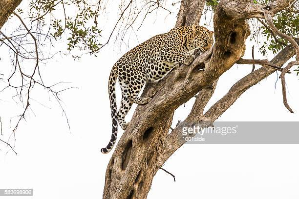 Leopard - climbing tree - ready to hunting