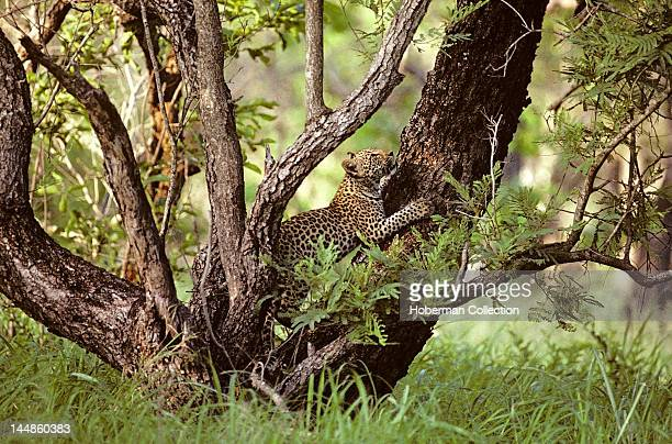 Leopard climbing tree South Africa