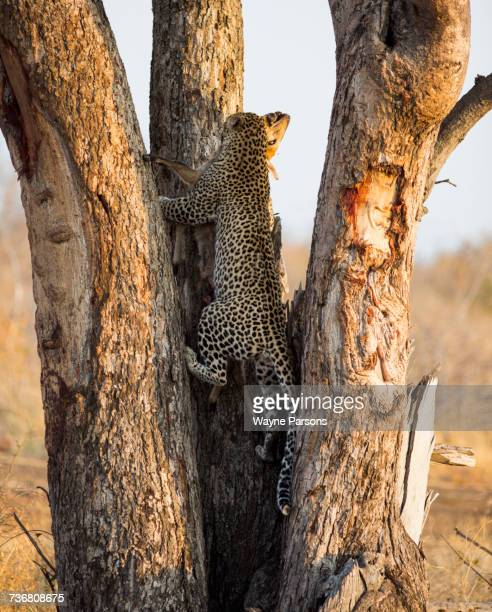 Leopard climbing tree with kill, Panthera pardus, Madikwe Game Reserve, South Africa.