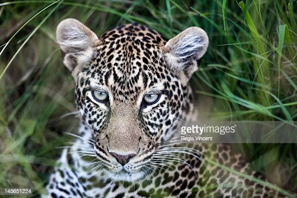 Leopard (Panthera pardus), close up