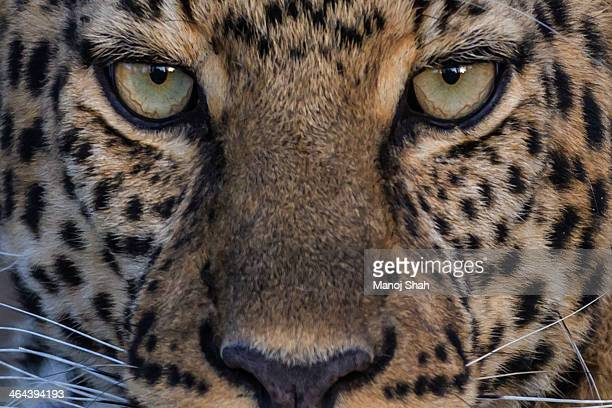 leopard close-up - leopard stock pictures, royalty-free photos & images