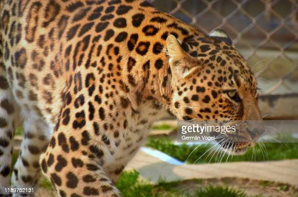 leopard close-up portrait - animales en cautiverio fotografías e imágenes de stock