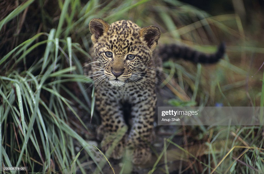 Leopard cub (Panthera pardus) in long grass, Kenya : Stock Photo