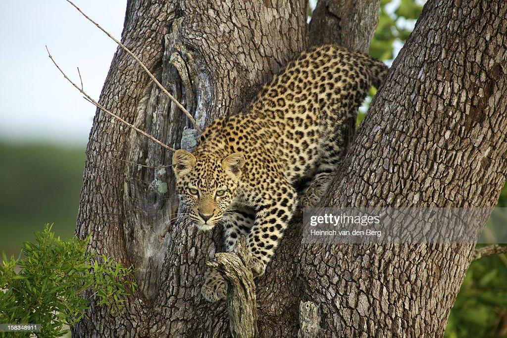 Leopard cub in tree : Stock Photo