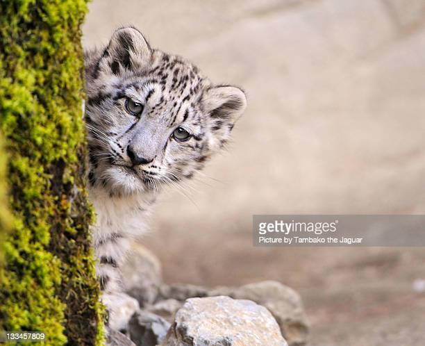 leopard cub - leopardo delle nevi foto e immagini stock