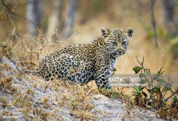 leopard cub - cub stock pictures, royalty-free photos & images