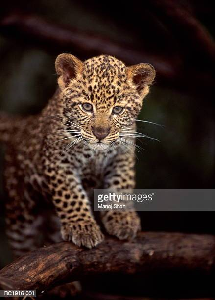 leopard cub (panthera pardus) standing on branch, close-up - leopard stock pictures, royalty-free photos & images