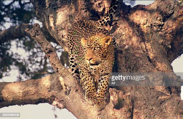 Leopard descending from an acacia, Serengeti National Park, Tanzania