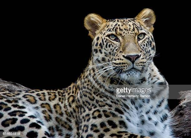 Leopard face detail close up face to face. Animal Headshot. Panthera pardus
