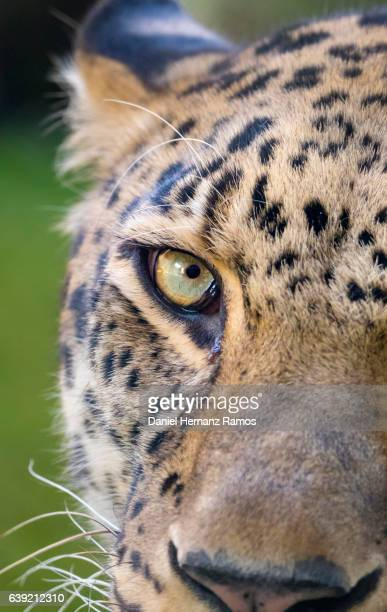 Leopard face detail close up face to face. Animal Headshot. Panthera pardus