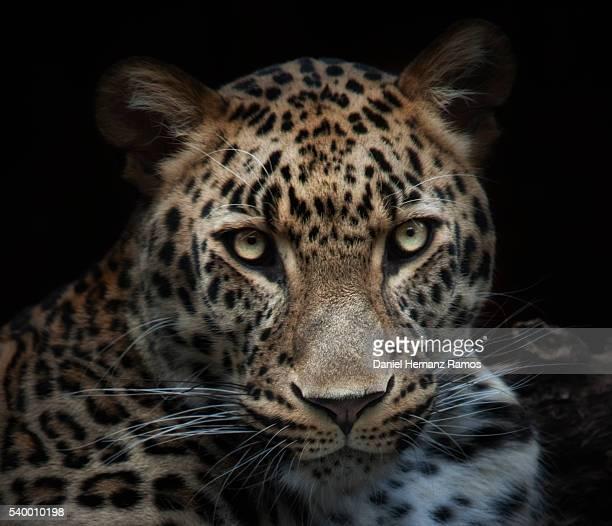 Leopard face detail. Headshot. Panthera pardus