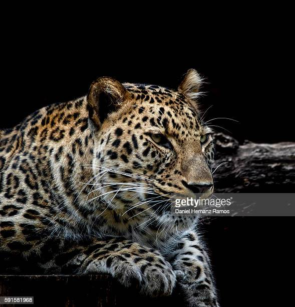 Leopard face detail with black background. Headshot. Panthera pardus