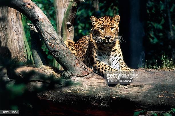 Leopard Felids Rotterdam Zoo Netherlands