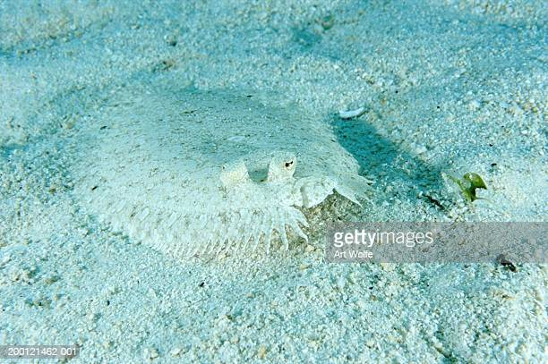 Leopard flounder (Bothus pantherinus), underwater view
