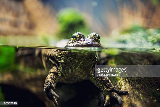 Leopard Frog Above The Water In Tank