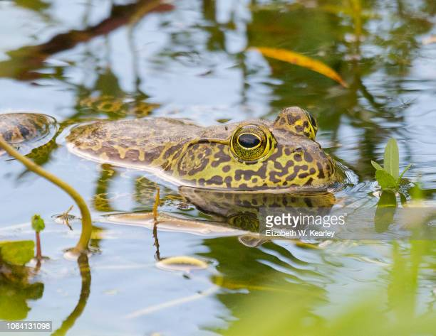 Leopard Frog in the Water