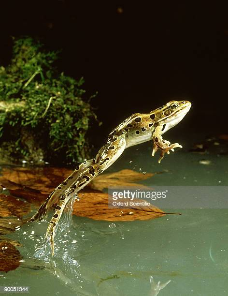 leopard frog, rana pipiens, leaping