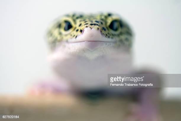 Leopard Gecko  climbing a branch.