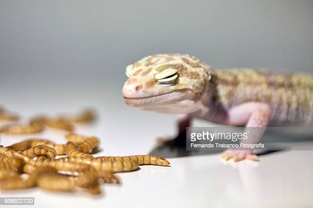 leopard gecko eating worms - mealworm stock photos and pictures