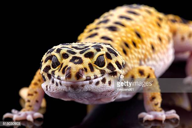 Leopard gecko, Eublepharis macularius, in front of black background