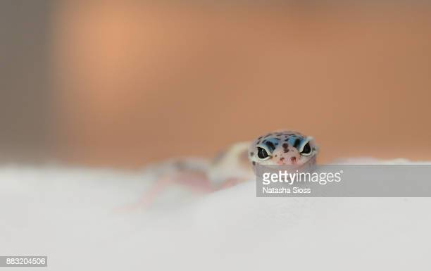 Leopard gecko holding on to a person's fingers
