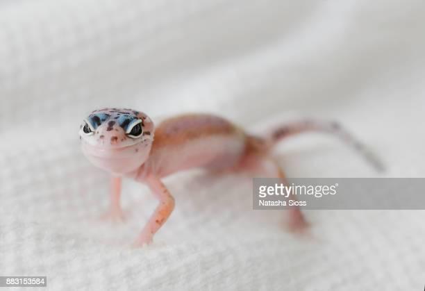 Leopard gecko indoor on the bed