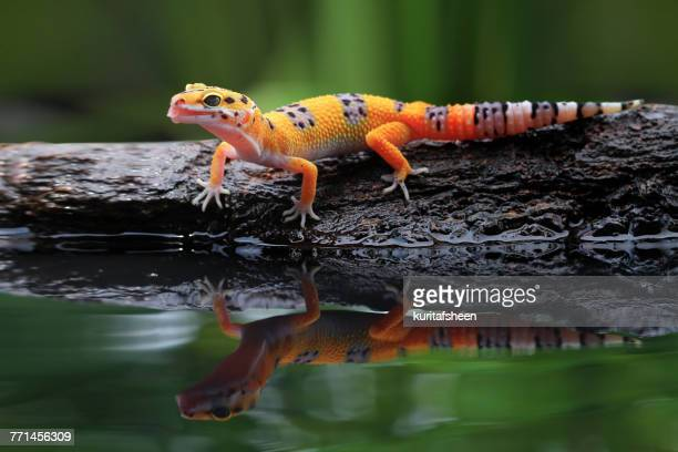 leopard gecko on a rock - geco foto e immagini stock