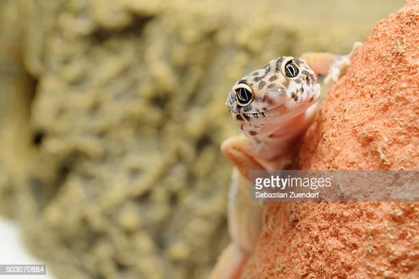 Leopard Gecko on a stone