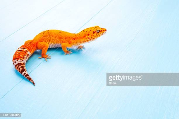 leopard gecko on white - exotic pets stock pictures, royalty-free photos & images