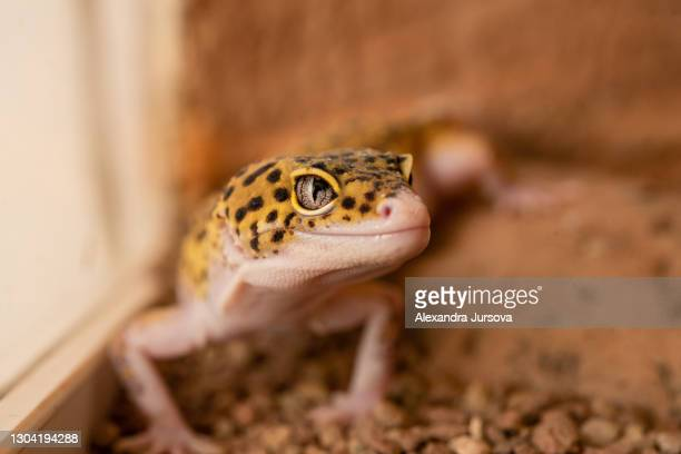 leopard gecko (eublepharis macularius) - malacky stock pictures, royalty-free photos & images