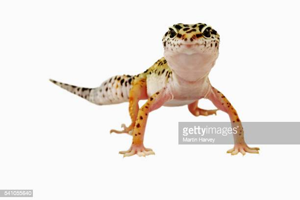 leopard gecko - lizard stock pictures, royalty-free photos & images