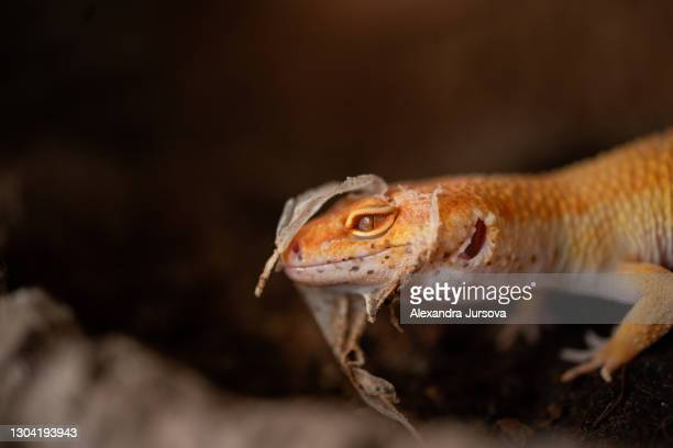 leopard gecko (eublepharis macularius) skin shedding - malacky stock pictures, royalty-free photos & images