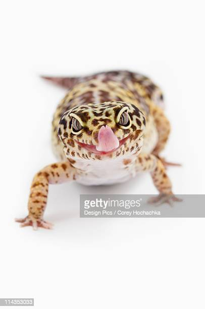 Leopard Gecko (Eublepharis Macularius) Sticking Out It's Tongue