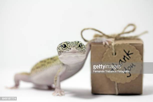 Leopard gecko with Small cardboard box with a thank you gift