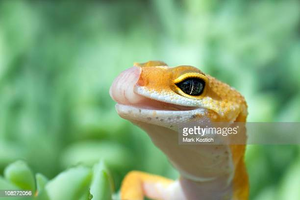 Leopard Gecko with tongue out